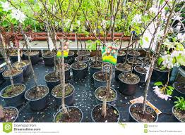 tree saplings for sale editorial photography image of farming