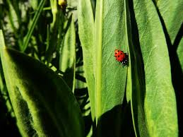 How To Find Ladybugs In Your Backyard The Flight Of The Ladybugs The Awl