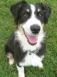 australian shepherd kc pedigree kc registered australian shepherd puppies in wickford