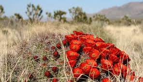 mojave desert native plants the mojave desert and sonora desert of arizona my grand canyon park