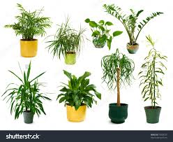 indoor plants indoor plants best position and best rooms in your