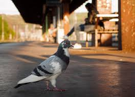 pigeon on the train station free stock images by libreshot