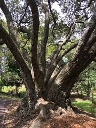 gorgeous trees picture of western park auckland central