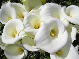 white calla calla lilies are one of the most beautiful flowers with a unique