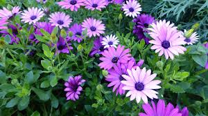 growing ornamental plants growing african daisies