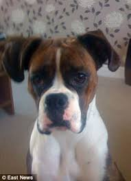 boxer dog vomiting after eating dog needs two hour operation after eating ten brillo pads daily