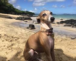 italian greyhound rescue hawaii igca home