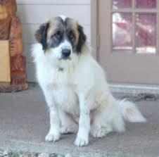 beagle x australian shepherd st bernard mix stcloudsrescue org