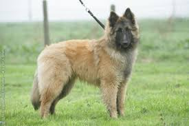belgian shepherd dog fci group 1 belgian shepherd dog royal canin