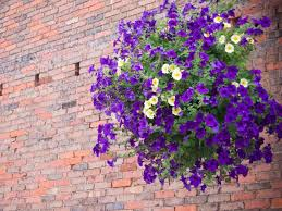 Best Plants For Hanging Baskets by Best Hanging Baskets Woman U0027s Weekly