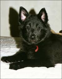 belgian sheepdog epilepsy black ice belgian sheepdogs and schipperkes links