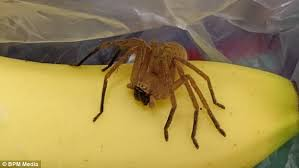 Misunderstood Spider Meme 16 Pics - man finds one of world s deadliest spiders in bananas daily mail