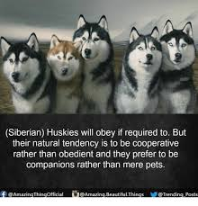 Siberian Husky Meme - siberian huskies will obey if required to but their natural tendency