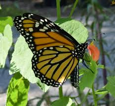 georgia native plants using georgia native plants yes georgia monarch butterflies do