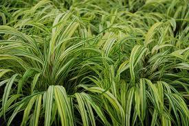 easy perennials for shade costa farms