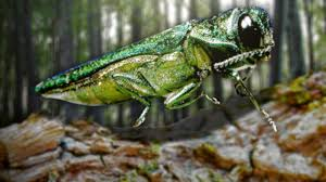 Washington Township Map In Eau by Emerald Ash Borer Found In 5 New Wi Counties Including Chippewa