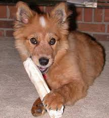pomeranian x australian shepherd murphy the australian cattle dog mix puppies daily puppy