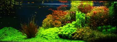 Aquascape Layout Dutch Aquascapes Aquascaping World Forum