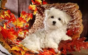 happy thanksgiving wallpaper free thanksgiving puppies wallpaper free