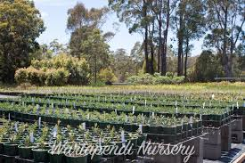 native plant nursery adelaide attracting butterflies to your garden native plant and