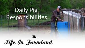 day to day activities of raising backyard pigs youtube
