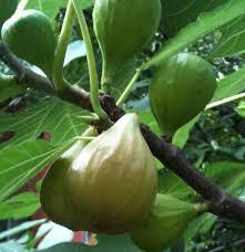 buy banana plants more tropical plants for sale florida hill