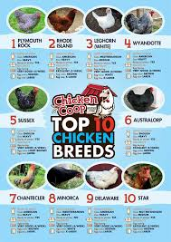 chicken breeds used for eggs with 4 benefits of a mixed flock