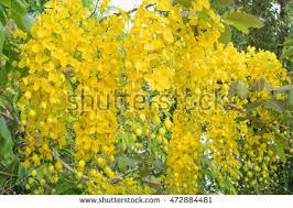 Tree With Bright Yellow Flowers - beautiful yellow flower look like rain stock photo 412270843