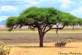 umbrella tree with zebra and leopard by okavanga on deviantart