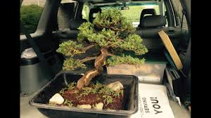 60 year old bonsai tree stolen from museum recovered kiro tv