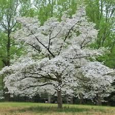 white flowering dogwood flowering dogwood white cornus florida princess bulk 200