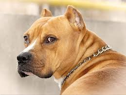 american pitbull terrier vs amstaff american staffordshire terrier k9 research lab