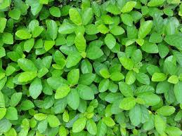 native australian ground cover plants our top ten favorite ground covers maas nursery