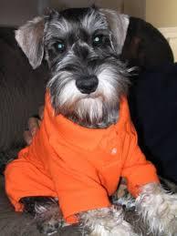 serena parker afghan hound judge cute miniature schnauzer pet dogs fun animals wiki videos