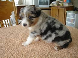 4 week old australian shepherd new born puppies