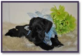 affenpinscher calgary calgary alberta miniature schnauzer breeders of puppies