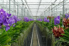 vanda orchids de vanda orchids in greenhouse stock image image of seasonal