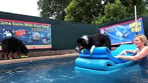 australian shepherd boo jumps off of pool floats to get his dog