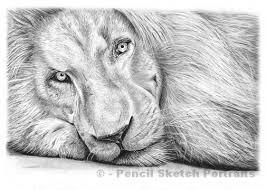 pencil drawings lions drawing art u0026 skethes