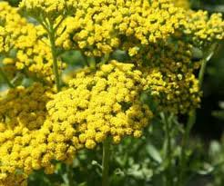yellow flowers yellow flowers coblands online garden centre