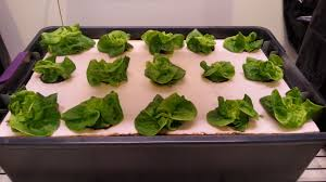 problems with yellow brown leaves on hydroponic lettuce ask an