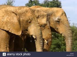 african elephants colchester zoo stock photos u0026 african elephants