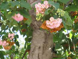 weeding wild suburbia all about dombeya wallichii from the ground up
