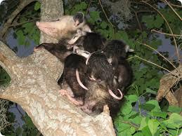 Possum In My Backyard Possum Mother With Babies