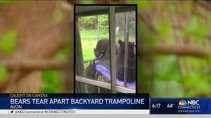 family of bears plays on trampoline in avon nbc connecticut