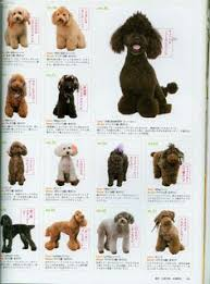 different styles of hair cuts for poodles so cute poodle hair cuts mostly teddy bear styles poodles