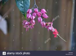 Bleeding Hearts Flowers Bleeding Hearts Flowers Stock Photo Royalty Free Image 125784759