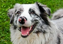 australian shepherd gray the australian shepherd dog right canine breed for you