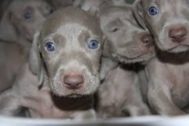 bluetick coonhound breeders ohio weimaraner puppies funny puppy u0026 dog pictures