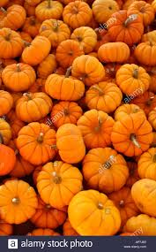 halloween pumpkins background mini pumpkin background stock photo royalty free image 5125727